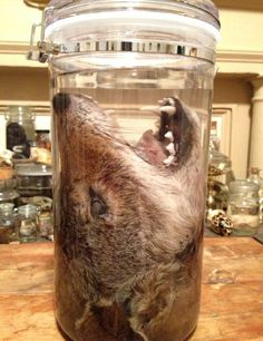 MASSIVE Coyote Head in a Jar  Preserved Wet by BlackBearBathSalts, $110.00