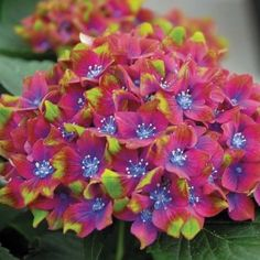 Hydrangea macrophylla 'Schloss Wackerbarth'  I need this one! Never saw this color before