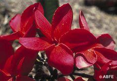 Red Suva Frangipani
