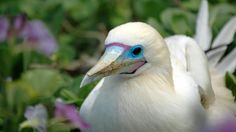 Visit Half Moon Caye to get a look at one of the island's 4,000 red-footed boobies.