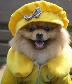 The fashionable Pom