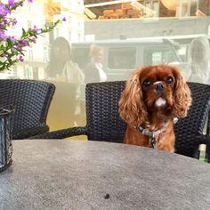 Cutest cavalier King Charles spaniel ruby at leto caffe Knightsbridge london