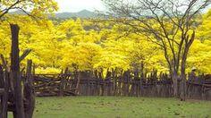 El florecimiento de los guayacanes