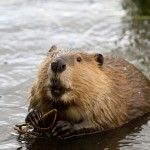When the Catholic Church decided beavers were fish -- Strange but true: In the 17th century, the Church permitted beaver BBQs during Lent to appease Canadian Catholics
