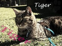 You can vote for Tiger as Pet of the week on our Facebook Fan page by posting his name on our wall. www.facebook.com/petpages