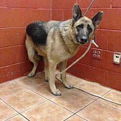 Downey, California - German Shepherd Dog. Meet CHASE, a for adoption. https://www.adoptapet.com/pet/20826551-downey-california-german-shepherd-dog