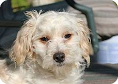 Pittsburg, CA - Cockapoo/Terrier (Unknown Type, Medium) Mix. Meet Lois Griffin, a dog for adoption. http://www.adoptapet.com/pet/11489456-pittsburg-california-cockapoo-mix