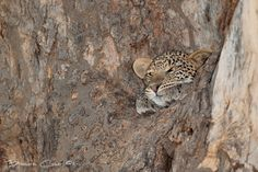 We were extremely lucky to come across this young shy leopard hiding in the fork of tree. Although you see signs and sometimes even hear the calls of leopards at Duba, they are very uncommon sight, so to be able to spend about 20 min with this youngster was a great pleasure. Duba Plains, Okavango Delta, Botswana.