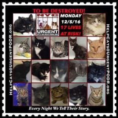 "TO BE DESTROYED 12/05/16 - - Info  Please Share:Please share View tonight's list here: http://nyccats.urgentpodr.org/tbd-cats-page/  The shelter closes at 8pm. Go to the ACC website( http:/www.nycacc.org/PublicAtRisk.htm) ASAP to adopt a PUBLIC LIST cat (noted with a ""P"" on their profile) and/or … CLICK HERE FOR ADD...-  Click for info & Current Status: http://nyccats.urgentpodr.org/to-be-destroyed-091716/"