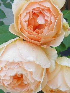 'Jude the Obscure' Rose Merveilleuse rose Anglaise Love Rose, Pretty Flowers, Exotic Flowers, Purple Flowers, Rose Anglaise, Jude The Obscure, Ronsard Rose, Fleur Orange, Rose Pictures