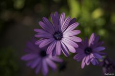 African daisy (Dimorphotheca spp.) by Gaetano Manitta on 500px