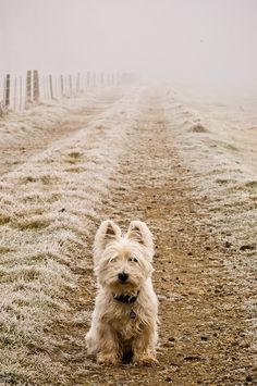 West Highland Terrier on the farm road. What a handsome fellow.