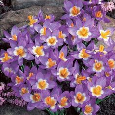 Wild Crocus Bulbs Tricolor, Crocus sieberi - Fall Bulbs from American Meadows