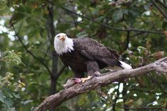 """""""'Bandit' Eating Fish"""" (along the James River near Deep Bottom) by Jim Perdue (featured in the Richmond Times-Dispatch on November 1, 2014). Fun Fact #1: 'Bandit' is a scrappy female eagle known and admired by users of the James near Richmond. Fun Fact #2: This photo is a 2014 Virginia Vistas Photo Contest Honorable Mention winner in our Vistas with Wildlife Category. ENJOY!! (And go, Bandit, go!)"""