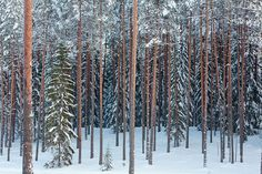Digital photo collection about Estonian landscapes and species of Northern Europe Pine Forest, Winter Pictures, Snow White, Landscape, Nature, Winter Photos, Landscape Paintings, Sleeping Beauty, Nature Illustration