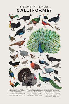 Creatures of the order Galliformes- vintage inspired science poster by Kelsey Oseid Kreaturen des Ordens Hühnervögel-Vintage inspiriert Doodle Drawing, Peafowl, Animal Posters, Animal Species, Fauna, Animal Drawings, Beautiful Birds, Illustrations Posters, Animal Illustrations