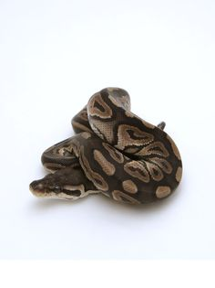 Cinnamon Ball Python Female - #2016F01 – BHB Reptiles
