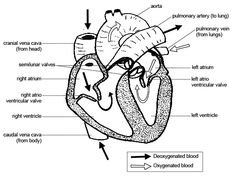 labelled diagram of the heart | lincoln | pinterest | heart, Muscles