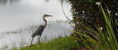 This beautiful Blue Heron hangs out by the waters in our neighborhood all the time.  I snapped this pic along beautiful Cypress Springs Parkway.