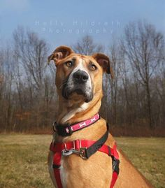 ADOPTED!!! Kira is possibly a Boxer and Hound mix who is 60lbs and 3-4yrs old. She is a sweetheart of a dog looking for a doggie friend to play with. If you have a playful medium or large dog who needs a playmate, Kira is your girl! She follows her doggie foster sister around like a puppy, LOVES kids, loves to romp and is a TOTAL snuggler with her people. Kira is potty trained, crate trained and walks well on a no-pull chest harness. She's a wonderful girl! causeforpawsohio.com
