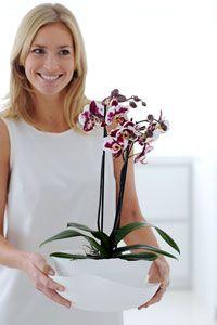 La Phalaenopsis est l'orchidée la plus facile à cultiver : rempotage