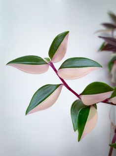 I dont know why but Ive got a favorite stem on one of my Spiderworts (Tradescantia fluminensis Tricolor) x [OC] Eastern Redbud, Leaf Photography, Plant Fungus, Inside Plants, Unique Plants, Carnivorous Plants, Foliage Plants, Tropical Plants, Houseplants