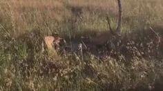 Double cheetah kill. Zambezi - YouTube  (credit Lisa and Steve Stirrett)