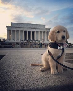 #indianajonesthepuppy   Little Indy visiting the Lincoln Memorial!  Cutest golden retriever ever :)