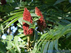 http://faaxaal.forumactif.com/t2879-photo-d-anacardiacee-sumac-de-virginie-vinaigrier-sumac-amarante-rhus-typhina-staghorn-sumac