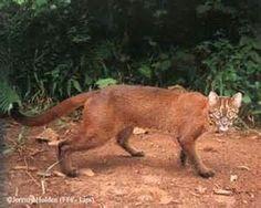 Dissertation titles on bornean wild cats?