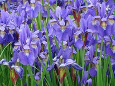 all the colors of the iris flower   Spring Flowers - Flowers of spring   Flowers magazine