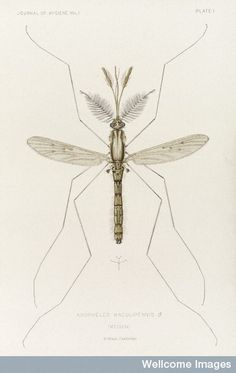 Male mosquito, Anopheles maculipennis (atroparvus), 1901