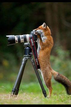 Лиса вышла на охоту