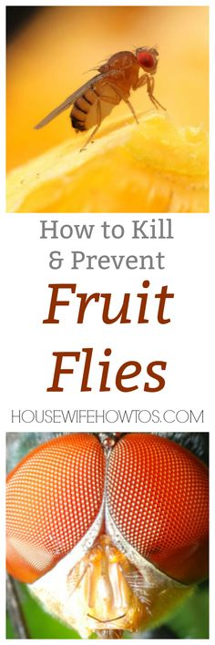 How to Kill Fruit Flies - It's a myth that fruit flies die after 24 hours. They can breed thousands during their life-cycle. Here's how to kill them then keep them away for good! #fruitflies #fruitfly #pests #pestcontrol #naturalcleaning  via @housewifehowtos
