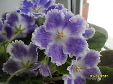 The first photo shows a representative bloom from a mature AE-Super Nature plant. The coloring of the flowers appears to be quite temperature-dependent, with warm temperatures inducing more plum coloring and cool temperatures promoting white. Saintpaulia, African Violet, Violets, Romantic, Flowers, Plants, Ukraine, Blue, Google Search
