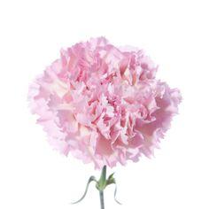 Light pink carnation