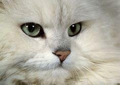 Google Image Result for http://www.scenicreflections.com/ithumbs/Chinchilla_Persian_cat_Wallpaper_atgob.jpg