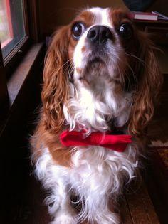 #cavalier #dog #spaniel #cute #puppy #bowtie #christmas #kingcharles