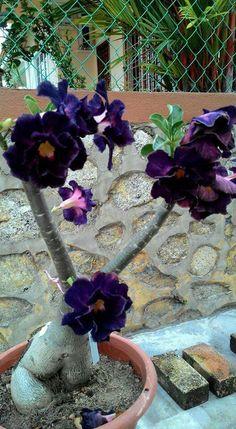 Bonsai Adenium Thai Socotranum a.k.a. Desert Rose. Native to Socotra Island in the Indian Ocean. (Succulent)