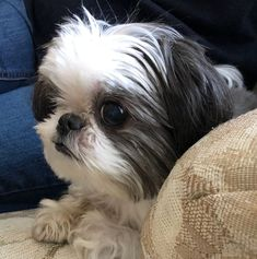 456 Best For Shu Shu Images In 2018 Shih Tzus Doggies Puppys