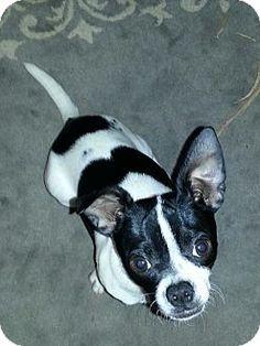 Durham, NC - Chihuahua/Boston Terrier Mix. Meet Paco, a puppy for adoption. http://www.adoptapet.com/pet/12548808-durham-north-carolina-chihuahua-mix