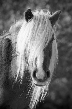 TITLE - Blondie    This horse photography of a chesnut horse is one of the beautiful New Forest ponies that roam free on the New forest in