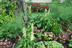 Tips on planting in succession for the Shade Garden; a view in September 2011.