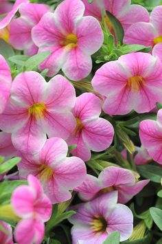 Pretty Pink Calibrachoa Flowers
