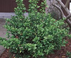Small Evergreen Shrubs Zone an evergreen shrub forming a dense compact mound of small. Small to medium evergreen shrubs. Yard Work, Landscape Projects, Small Evergreen Shrubs, Plant Images, Plant List, Landscape, Plants, Viburnum, Front Yard