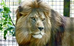 Milo the Barbary Lion