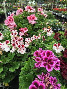 Martha Washington #Geranium from Stauffers Home & #Garden Store.
