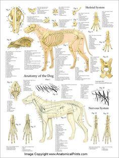 Dog Anatomy Laminated Poster Set Dog Anatomy, Animal Anatomy, Mites On Dogs, Dog Skeleton, Skeleton Muscles, Vet Assistant, Animal Science, Animal Bones, Veterinary Medicine