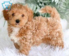Sawyer | Maltipoo Puppy For Sale | Keystone Puppies Baby Puppies For Sale, Maltipoo Puppies For Sale, Westies, Bichons, Puppy Finder, Buy A Dog, Lap Dogs, Puppy Breeds, Cute Babies