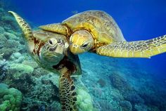 Turtle-y awesome dude: Giants of the deep blue sea show all's well beneath the waves with a magical underwater high-five Turtle Love, Green Turtle, Beautiful Creatures, Animals Beautiful, Cute Animals, Sea Turtle Pictures, Baby Turtles, Sea Turtles, Save Our Oceans